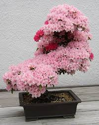 egrow 10pcs rare sakura seeds cherry blossoms seeds garden flower