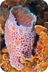 Azure Vase Sponge Facts Animal Classification Ck 12 Foundation