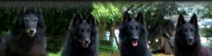 belgian sheepdog groenendael breeder black gold belgian sheepdogs groenendael breeder of quality