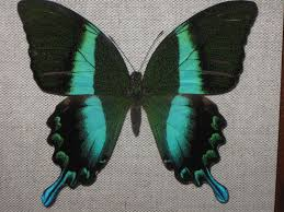 butterfly wing scale photonics asknature