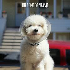 bichon frise x jack russell the cone of shame max the bichon frise by kevin max pack