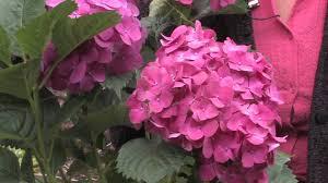 flower hydrangea gardening caring for plants how to trim hydrangea
