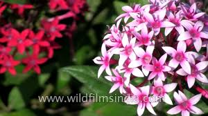 pentas flower pentas ianceolata or northern lights a magnetic flowering plant
