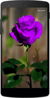 purple roses purple roses wallpapers android apps on play