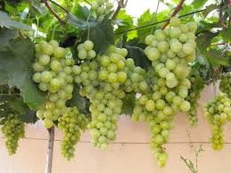 How To Grow Grapes In Your Backyard by How To Care And Grow Grapes Plant At Home In Pot Youtube