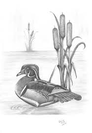 male wood duck drawing by patricia hiltz