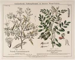 acacia verek indigofera tinctoria tintes naturales pinterest