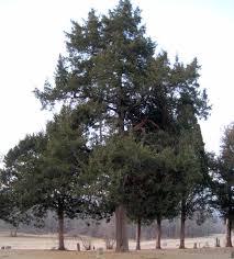 the palm and cedar trees