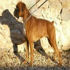 boxer dog origin boxer dog wholesaler u0026 wholesale dealers in india