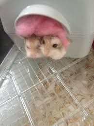 Hamster Cages Petsmart Robo Dwarf Hamster Cages Petsmart