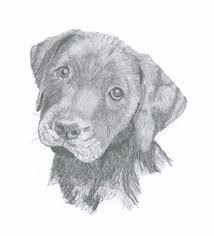 black labrador puppy sketch things to wear pinterest
