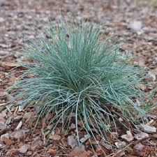 low growing ornamental grasses available best prices