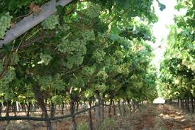Growing Grapes Trellis Growing Grapes Archives Page 11 Of 12 Free Grape Growing Tips