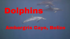 dolphins in ambergris caye san pedro belize scuba diving youtube