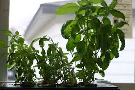 Window Sill Herb Garden by How To Make A Hydroponic Herb Garden Tomorrow U0027s Garden