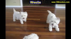 west highland white terrier westie puppies dogs for sale in