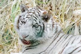 white tiger looking back stock photo picture and royalty free image