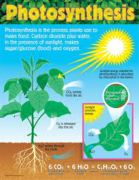 chart photosynthesis gr 4 8 t 38192