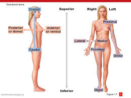 Directional Terms Human Anatomy An Introduction To Anatomy And Physiology Ppt Download