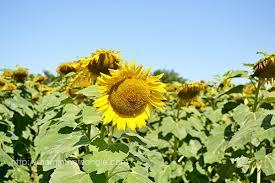 raleigh greenway map neuse river greenway trail sunflowers a guide for parents in the