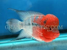 grandaquatic freshwater tropical fish exporter from thailand
