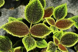 pothos houseplant description and growing tips