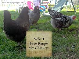 Chickens In The Backyard by Why I Free Range My Chickens Farming My Backyard