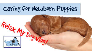 how to care for newborn puppies caring for a litter of puppies