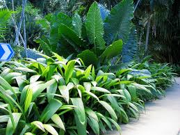 Cairns Botanical Garden by Molineria Recurvata And Alocasia Macrorrhiza At Cairns Bot U2026 Flickr