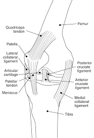 knee diagram medical anatomy joints knee diagram png html