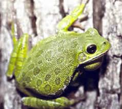 950 best real frogs images on frogs tree frogs and