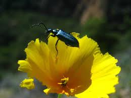 1 blister beetle lytta stygica on u0027collarless u0027 california poppy