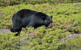 black bear walking through the green small plants wallpaper