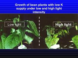 light and plant growth potassium in plant growth and yield
