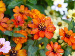 Zinnia Flowers Mini Zinnia Flowers Stock Photo Colourbox