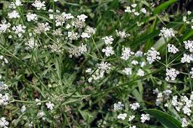 Shrub Small White Flowers - oklahoma prairie country
