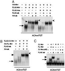 Flag Tag Dna Sequence Iroquois Transcription Factors Recognize A Unique Motif To Mediate