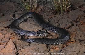 minden pictures stock photos ornamental snake denisonia