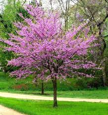 ornamental trees for landscaping eastern small ornamental
