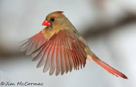 Ohios State Flag Female Northern Cardinal In Flight