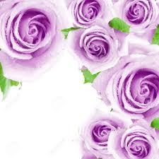 purple roses purple roses a frame stock photo picture and royalty free