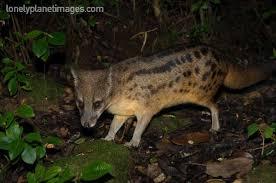 animals madagascar 9 malagasy striped civet u2013 cute