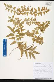 Canopy Synonyms by Lygodium Microphyllum Species Page Isb Atlas Of Florida Plants
