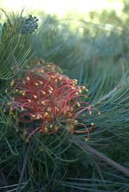 native plants adelaide 172 best grevillea images on pinterest native plants posts and