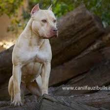 american pitbull terrier 9 meses best 25 american pit ideas on pinterest american pitbull staff