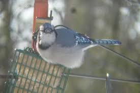 south burlington birds sharp shinned hawk redpoll photos south
