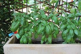 basilico in vaso malattie basilico come si coltiva come si raccoglie e come si conserva