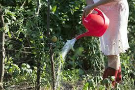fabulous watering vegetable garden vegetable garden watering