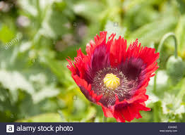 Opium Opium Poppy With Red Petals And Yellow Centre Growing In An