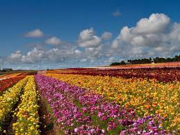 san diego s flower fields displays festivals